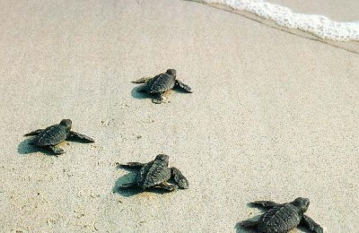 baby turtles journey img 2